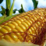 Выращивание кормовой кукурузы